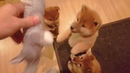 Gremlin angery puppy sounds MLIP Ep 202 Shiba Inu puppies