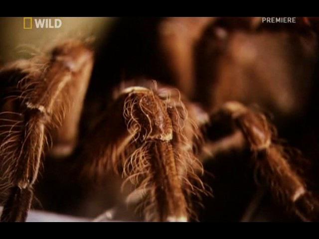 Невероятные животные Птицеед голиаф Theraphosa blondi