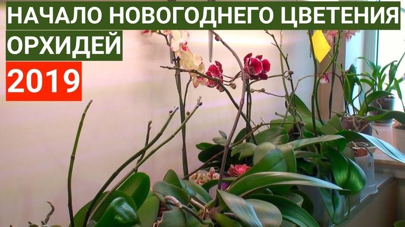 ДЕСЯТКИ ЦВЕТОНОСОВ ОРХИДЕЙ готовимся к НОВОГОДНЕМУ цветению фаленопсисов 2019 года