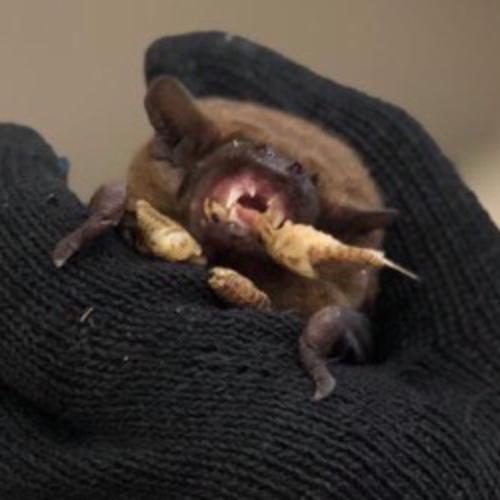 На свалке в Волгограде обнаружили 227 летучих мышей. Часть из них приютил у себя школьник из Волжского