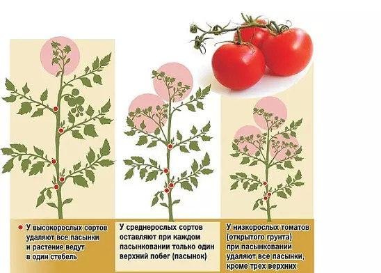 пасынкование и прищипывание томатов   пасынкование и прищипывание томатов - важная часть ухода за растениями, влияющая на урожайность. от того, какое внимание вы уделите формированию кустов