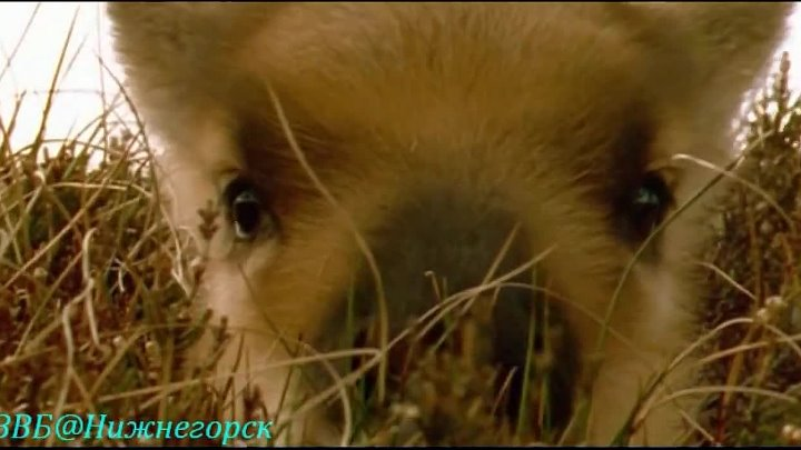 BBC Ребятам о зверятах Оленёнок Роси Документальный 2004
