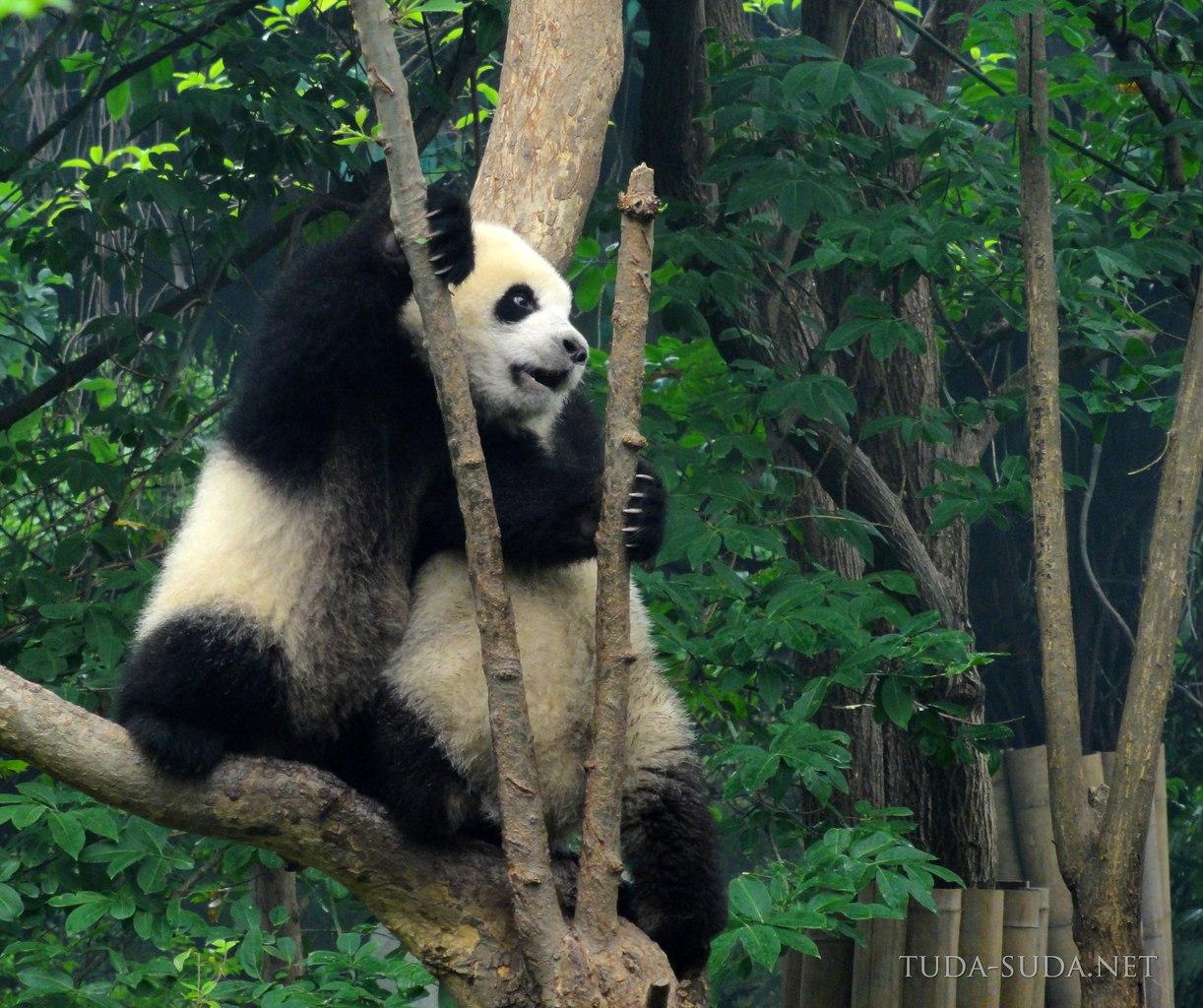 Центр изучения панд в Чэнду