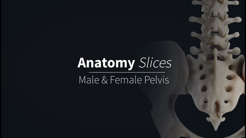 Differences between the Male Female Pelvises | Anatomy Slices