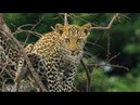 Leopard Mother Rescues Cub from Hyenas BBC Earth
