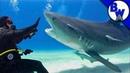 ТИГРОВАЯ АКУЛА чуть не УКУСИЛА.Дайвинг с акулами.Brave Wilderness на русском