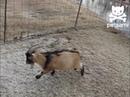 Goat slides on thin ice coub
