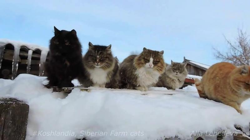 Зима в Кошляндии . Деревенские кошки.