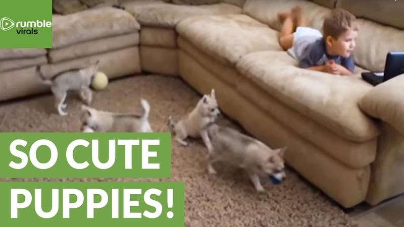 Alaskan Klee Kai puppies discover toddler