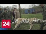 Двух амурских тигров выпустили на свободу на Дальнем Востоке - Россия 24