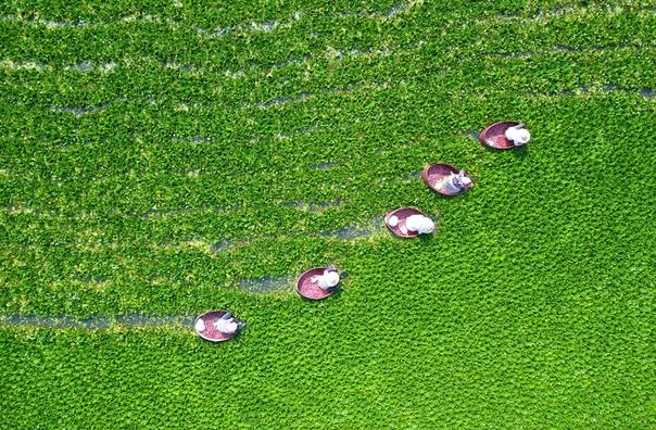 Фермеры собирают водяные каштаны, Хуайань, Китай.