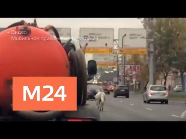 Откуда взялась белая лошадь посреди третьего транспортного кольца - Москва 24