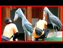 Shoebill ATTACK - Dangerous for Zoo Keeper - Bad Touch