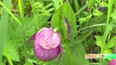 Грациозные и краснокнижные В Искитимском районе хотят сделать заповедник орхидей
