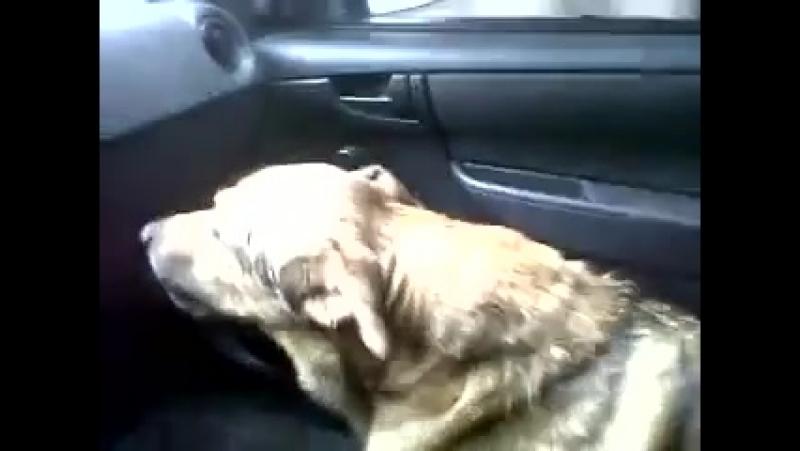 Perro explica a su dueña dónde estuvo perdido.mp4