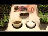 Выращивание рассады ЛАВАНДЫ из семян