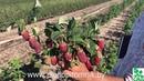 Малина Лашка. Самый лучший сорт летней малины зарубежной селекции.