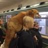 力 The Fox in Subway Metro 力