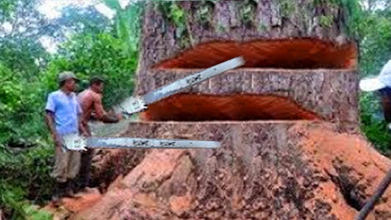 Dangerous Fastest Biggest Tree Felling Cutting Down Woodwork Woodcutter Skills Turbo ChainSaw