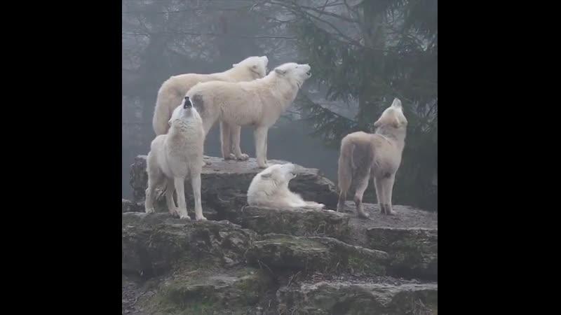 Хоровое пение полярных волков