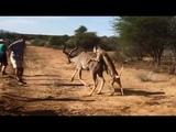 Cheetahs Take Down Kudu Next to Tourists on Walking Safari