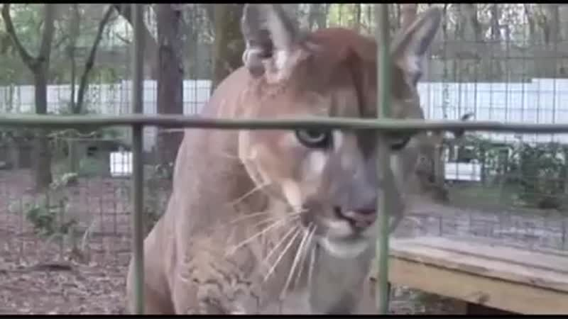In case you never heard the sound that a cougar makes