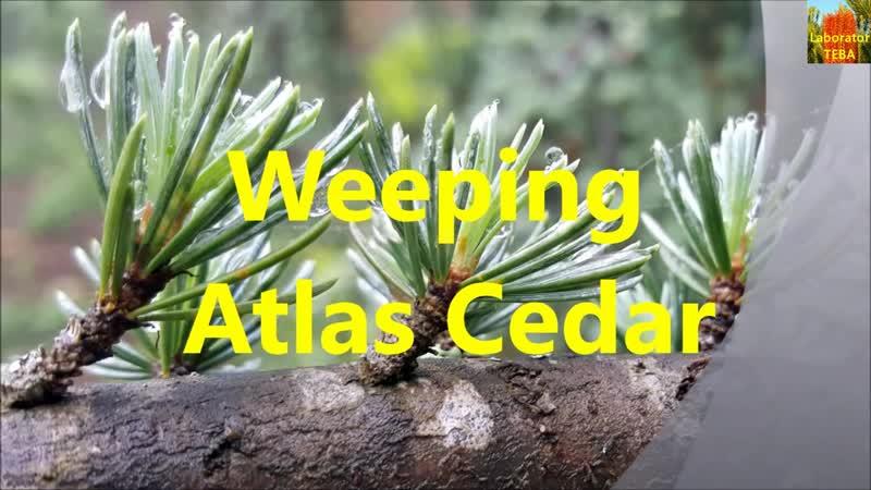 Weeping Atlas Cedar Cedrus atlantica 'Glauca Pendula'