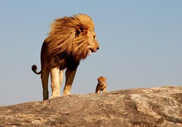 Притча. Трусость льва