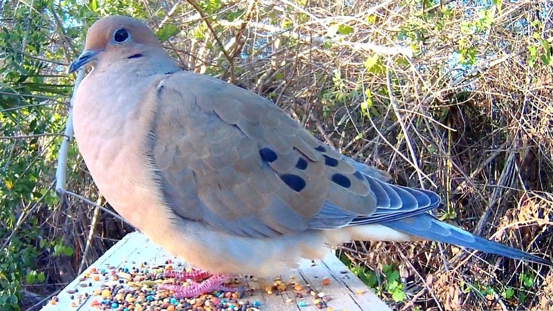 Mourning Dove Song Coo Call Sounds - Amazing Close-Up