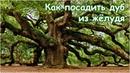 Как посадить дуб из желудя дубы болотный и изменчивый