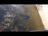 Сомы в пруду-охладителе припять