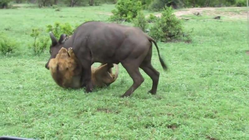 Дикаяприрода Просьба впечатлительным не смотретьНациональный парк Серенгети Танзания Лев в одиночку атаковал стадо буйволов