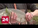 Брюхом кверху: кто отравил рыбу в Пахре - Россия 24