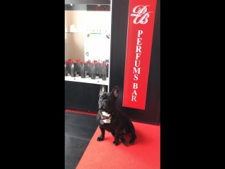 French bulldog love Perfums Bar movie-2