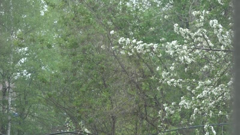 За окном цветет яблоня и падает снег