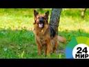 Хвостатый страж порядка скончался пес из «Возвращения Мухтара-2» - МИР 24