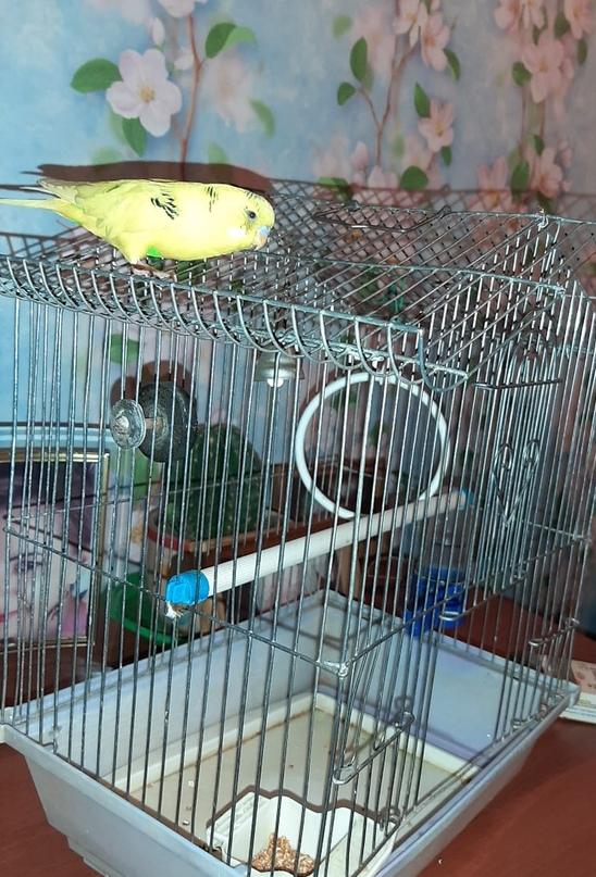 Купить попугайчика с клеткой,возраст 1,5 | Объявления Орска и Новотроицка №7279