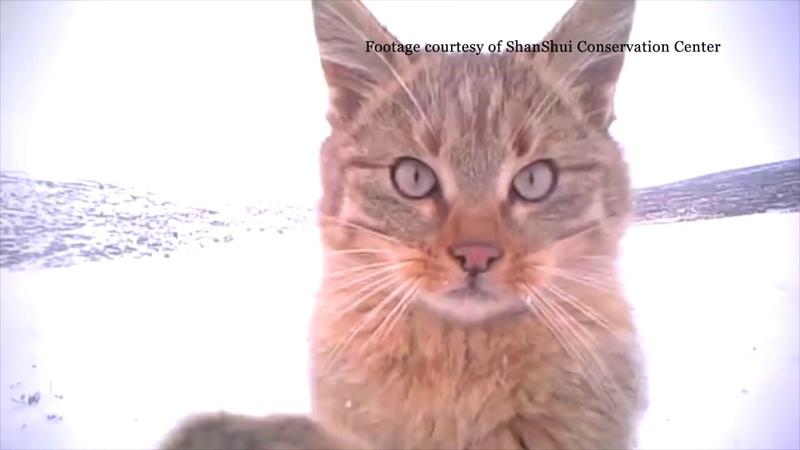 Котята китайской горной кошки в снегу Birding Beijing