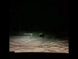 Опять медведь в Северодвинске!