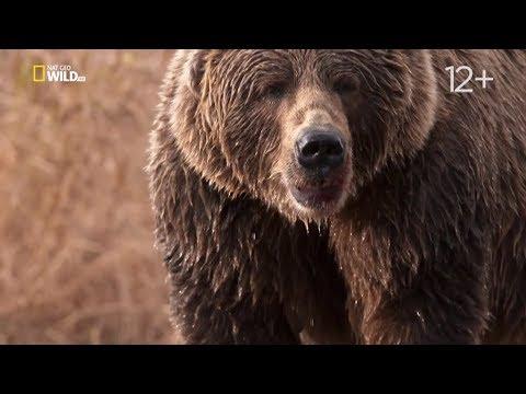 Nat Geo Wild Гризли Аляски бросают вызов. Короли острова Кодиак (1080р)