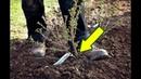 Сделайте это с крыжовником осенью в октябре для мощного урожая на следующий год!