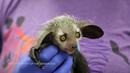 Denver Zoo's baby aye-aye out in habitat