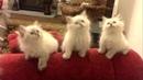 Смешные белые сибирские котята - коты и кошки 2019