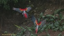 MACAWS in SlowMotion Rainforest