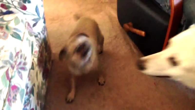 Screaming Pug Megan