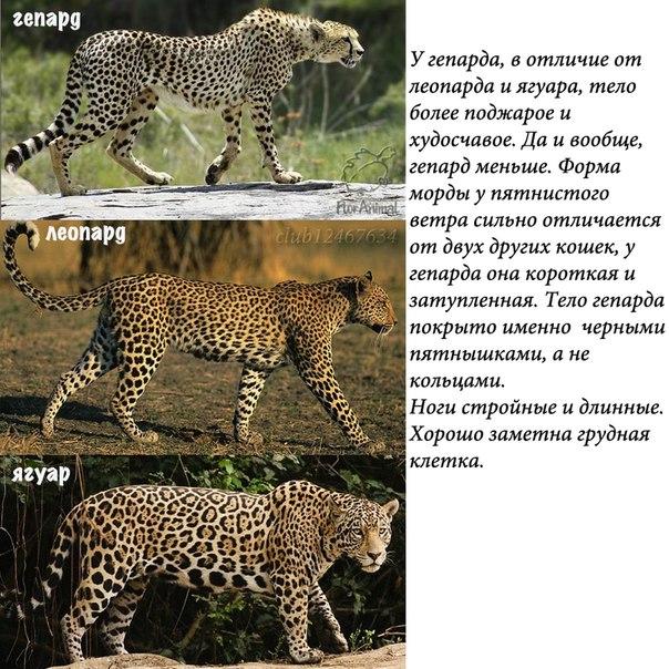 гепард и ягуар фото