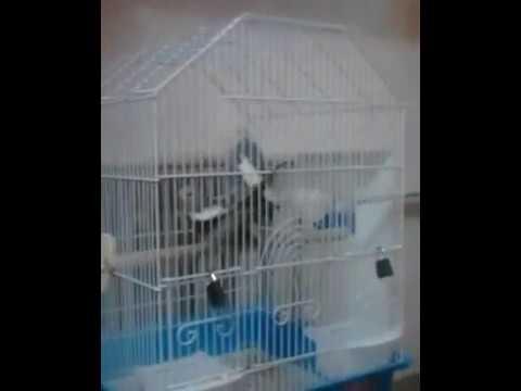 попугай корелла размножается