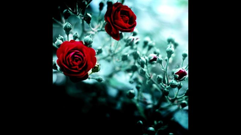 Chris Harms Scarlet Dorn - Where The Wild Roses Grow