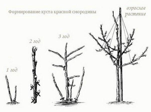 Как крыжовник и смородину выращивать в штамбовой форме