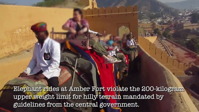 Blind And Tuberculosis Infected Elephants Forced To Haul Crushing Loads At Amer Fort in Jaipur